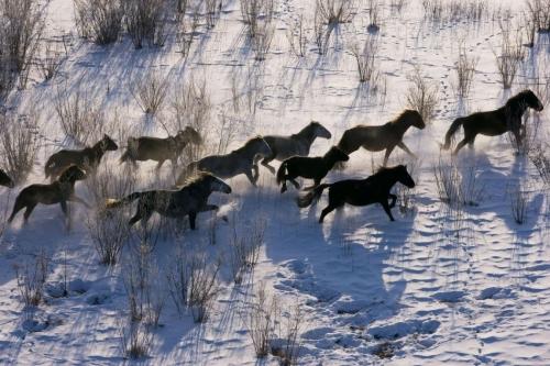 YANN ARTHUS-BERTRAND russie-siberie-orientale-chevaux-en-liberte.jpg