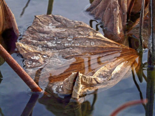 raphaële colombi lotus sacrés 77.jpg