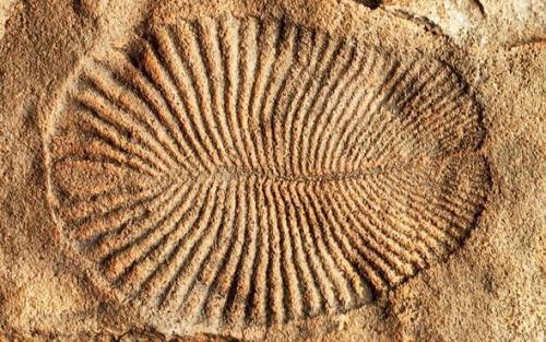 Dickinsonia le plus vieil animal connu il y a plus de 550 millions d'année.jpg