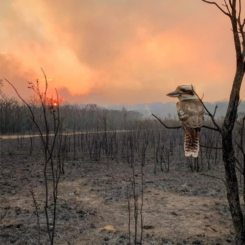 Adam Stevenson Kookaburra bird Wallabi point, New South Wales, Australia, 15 November 2019.jpg
