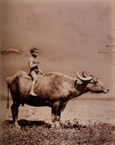 carlo naya enfant et buffle egypte1876.jpg