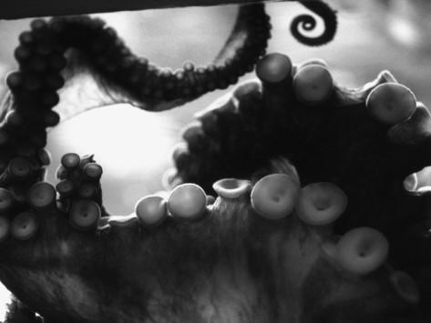 henry horenstein-tentacles-of-octopus.jpg