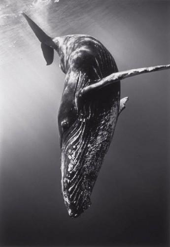 wayne levin Diving-Humpback-Whale-SC-366.jpg