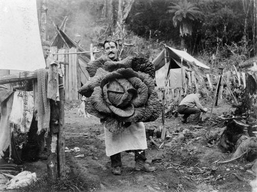 Chou géant, Wairarapa, Nouvelle-Zélande - ca. 1890.jpg