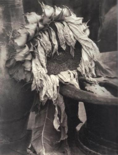 Edward Steichen - Wilted Sunflower, c.1922.jpg