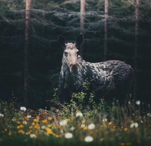 Konsta Punkka-animaux-foret-8.jpg