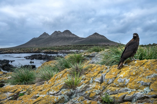 Justin Hofman Striated caracara ou Johnny Rock  - Steeple Jason au fond - Falkland Islands.jpg