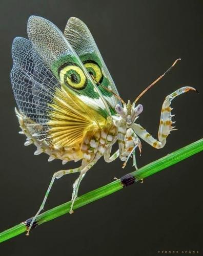 mante fleur (Pseudocreobotra wahlbergii) n.jpg