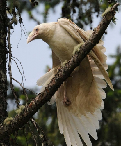 Mike Yip White raven spotted at Qualicum Beach, Vancouver Island, British Columbia.jpg