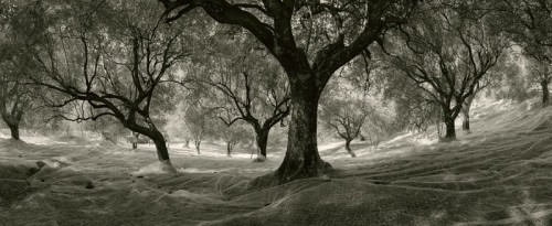 Pentti Sammallahti Cilento Olive trees italy 1999.jpg